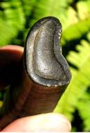 Fossil Paramylodon Sloth Tooth