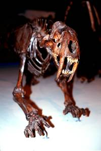 Saber-Toothed Cat Fossil Skeleton from La Brea Tar Pits.