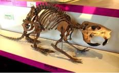 Giant Beaver Skeleton Fossil