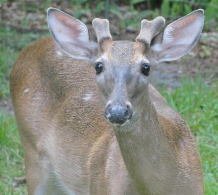 White-Tailed Deer Male w/ Velvet Antlers
