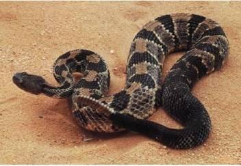 Modern Rattlesnake