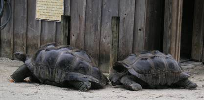 Two Giant Galapagos Tortoises