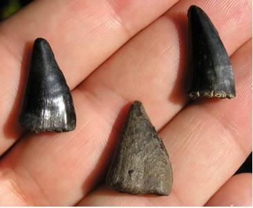 Fossil Barracuda Teeth