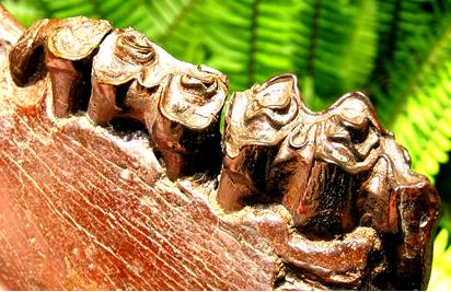 Fossil Bison Teeth