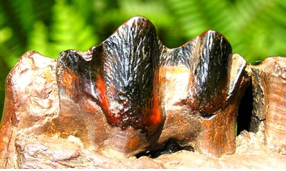 Fossil Bison Tooth