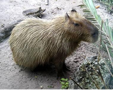 Modern Capybara