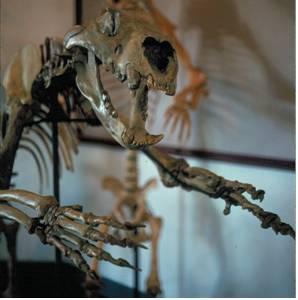 Fossil Cave Lion Skeleton