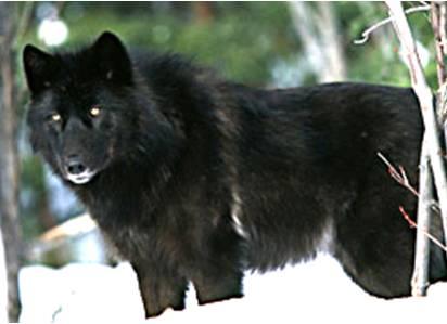 Modern Timber Wolf