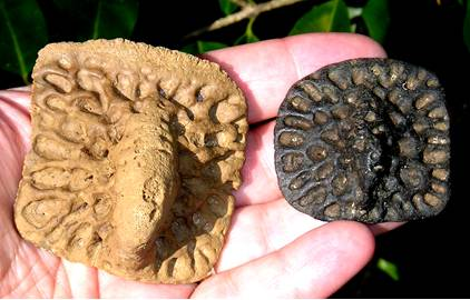 Fossil Alligator Scutes