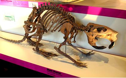 Giant Beaver Skeleton Fossil