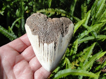 Pacific Megalodon Shark Tooth Fossil