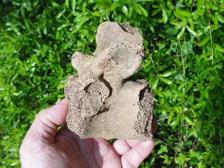 Ice Age Manatee Vertebrae Fossil