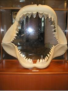 Megalodon Jaw