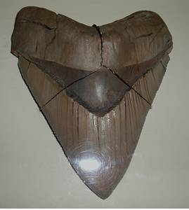 Megalodon Tooth
