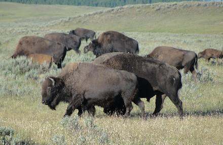 Modern Bison Herd