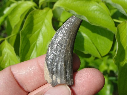 Peccary Tusk Tooth Fossil