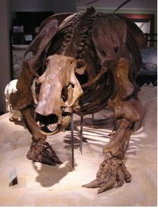 Paramylodon harlani  Fossil Skeleton.