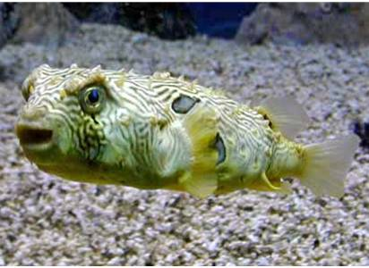 Modern Porcupine Fish or Puffer Fish
