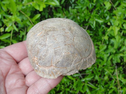 Tortoise Shell Fossil Carapace