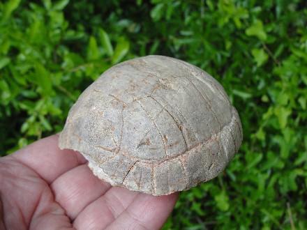 Tortoise Fossil Shell