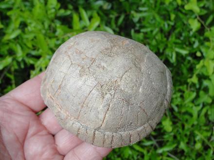 Fossil Badlands Tortoise