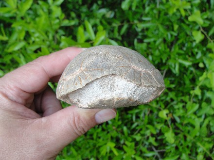 Badlands Fossil Carapace