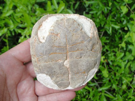 Carapace Fossil of a Tortoise