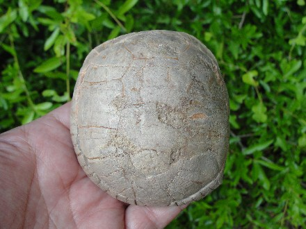 Prehistoric Badlands Fossil Tortoise Carapace Shell