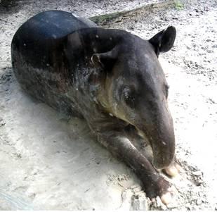 Fossil Tapir