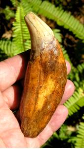 Fossil Cave Bear Tooth