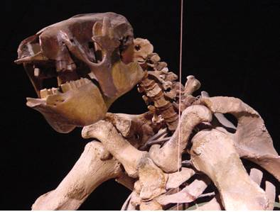 Eremotherium Sloth Skeleton