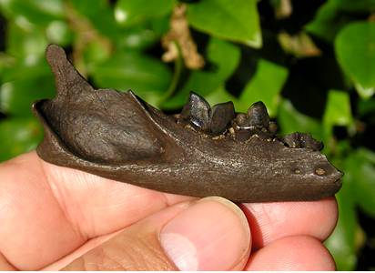 Fossil Bobcat Jaw