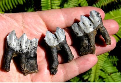 Fossil Llama Teeth