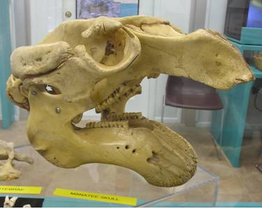 Manatee Skull