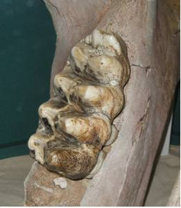 Mastodon Tooth in the Lower Jaw.