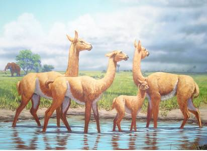 Paleollamas of the Pleistocene Period in Florida.