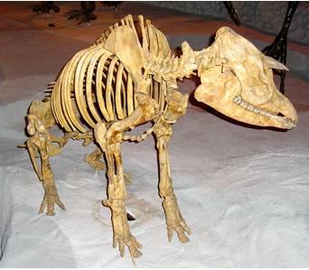 Tapir Fossil Skeleton