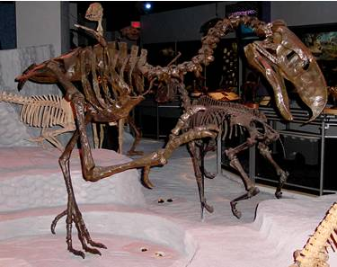 Terror Bird Skeleton Photo.