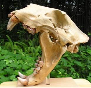 Prehistoric Lion Skull Cast