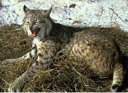 Bobcat Fossil