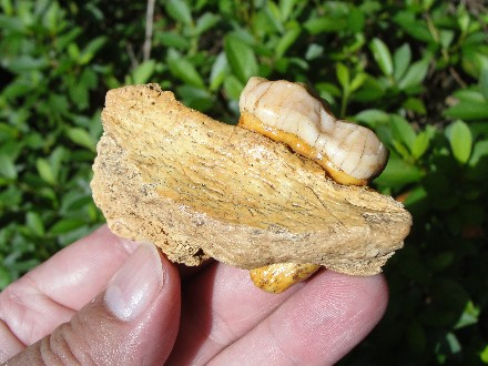 Prehistoric Cave Bear Tooth Fossil for Sale