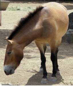 Equus Fossil