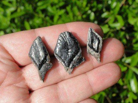 Prehistoric Garfish Scale Fossils