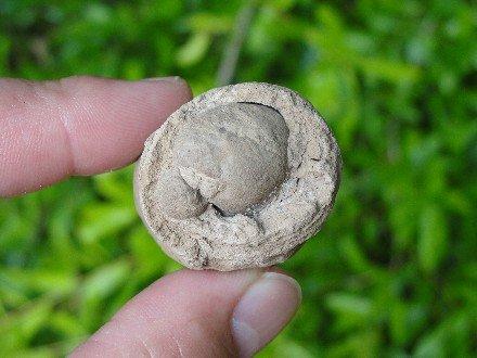 Coprolite Alligator Poop Fossil