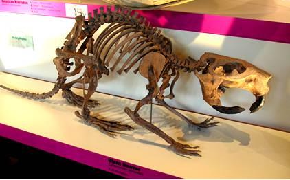 Extinct Giant Beaver Skeleton Fossil