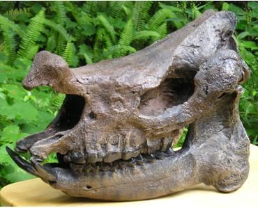Menoceras barbouri skull cast from Dixie Co, Florida.