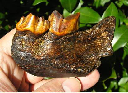 Smilodon fatalis Jaw Section
