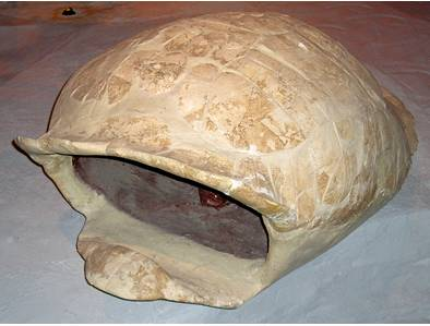 Fossil Giant Land Tortoise Shell, Geochelone (Hesperotestudo) crassiscutata