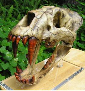 The fossilized skull of the aptly named scimitar cat.