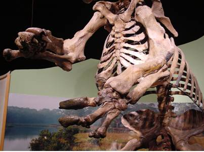 Front claws of this Giant Ground Sloth.